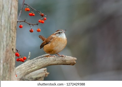 A Carolina Wren perched on the stub of a dead tree with bittersweet berries in the background.  In recent years this species has extended its range northward into upstate NY.