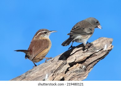 Carolina Wren (Thryothorus ludovicianus) with a Junco on a tree stump with a blue sky background