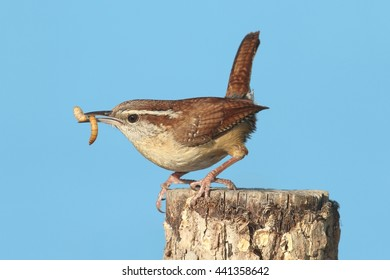 Carolina Wren (Thryothorus ludovicianus) on a branch with a worm