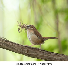 Carolina wren (thryothorus ludovicianus) perched on a log with its beak filled with nesting materials