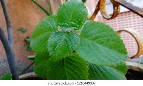 Carom seeds plants