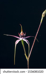 The Carousel Spider Orchid is an attractive orchid with reddish petals and sepals edged with green. Single flower with drooping petals, flower spike to the right, all on a black background.