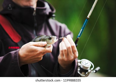 Carp, crucian carp, trout on fishhook, angling. Freshwater fish hooked on mouth in male hands, bait fishing.