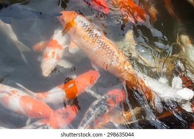 CARP or fancy carp, also known as fancy carp, black carp. Or carp IX. A freshwater fish of the carp. Japanese Koi called