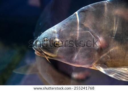 Carp Fish Aquarium Reservoir Ubder Water Stock Photo (Edit Now
