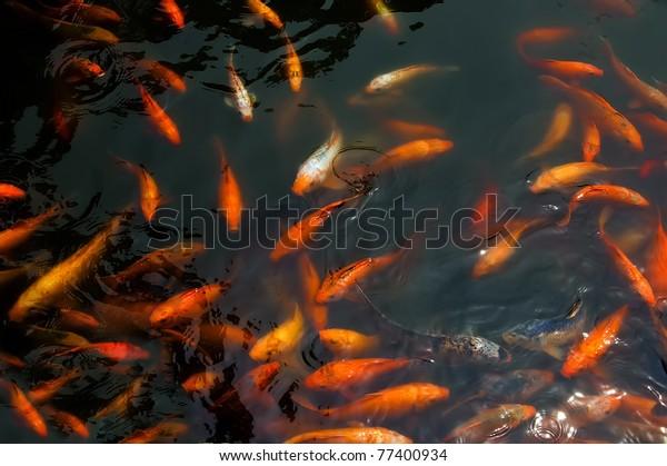 Carp fish are chasing food