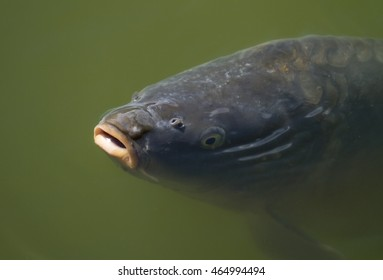 Carp fish coming to the surface