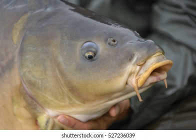 Carp fish just fished close up outdoor, France