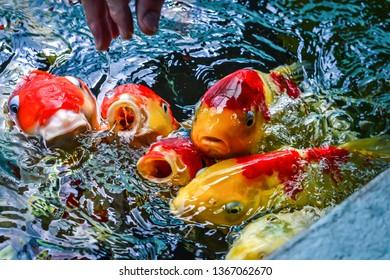 carp fish redfish carp fish in water