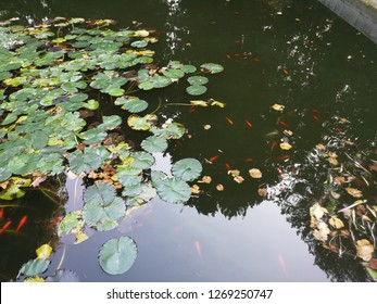 Carp Fish swims among water lily in the water slowly in the park