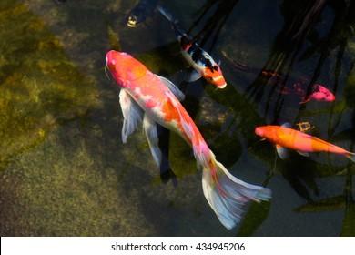 CARP, A freshwater fish of the carp.