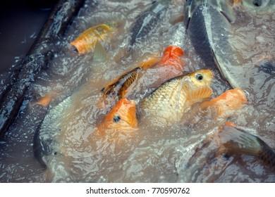 carp koi fighting for food