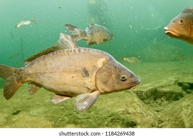 Carp from the stonepit of Rochefontaine