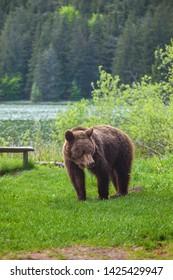 Carpathian brown bear looking for food
