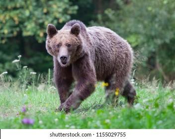 Carpathian brown bear in summer field