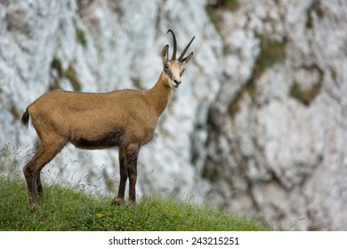 Carpathian chamois looking