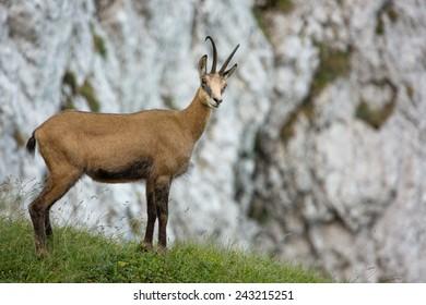 Carpathian chamois looking