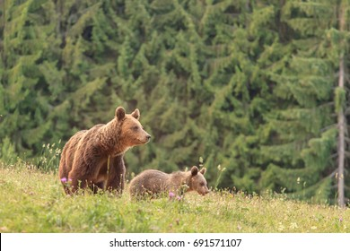 Carpathian european brown bear in his natural wild habitat during the summer, bear with cub