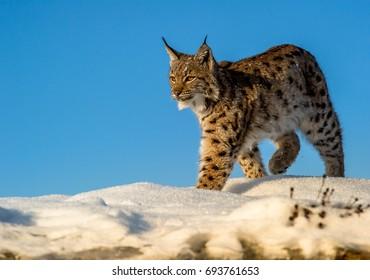 Carpathian Lynx (Lynx lynx)