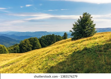 carpathian sub alpine meadows in august. beautiful mountain landscape. primeval beech forest on the edge of a hill. sunny weather with cloud formations on the blue sky. krasna ridge in the distance