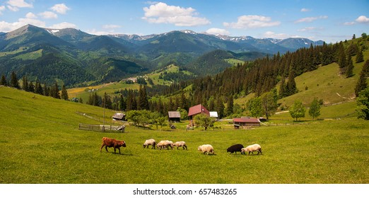 Carpathians, Ukraine. Journey in the mountains. Hiking Travel Lifestyle concept beautiful mountains landscape on background Summer vacations activity outdoor. Flock of sheep in the carpathians.
