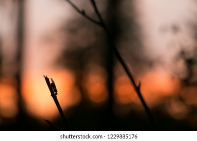Carpenter ant, Camponotus on twig in sunset