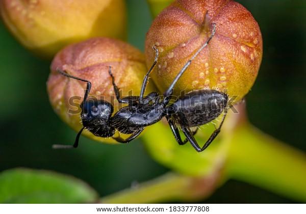 Carpenter ant (Camponotus spp.) on a wild fruit