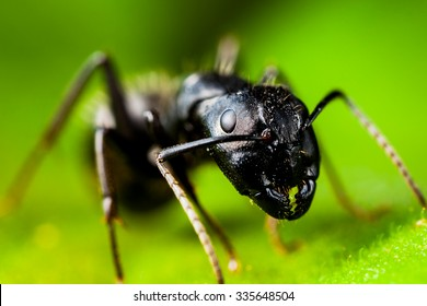 Carpenter ant extreme high quality macro