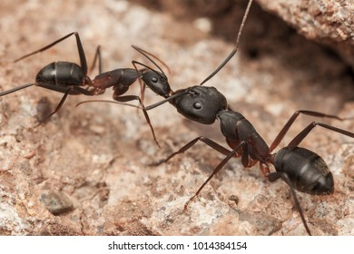 Carpenter ant feeding to each other