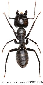 Carpenter Ant on white Background  -  Camponotus vagus (Scopoli, 1763)