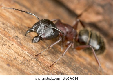 Carpenter ant, this insect is a major pest