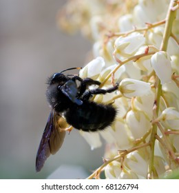 Carpenter Bee feeding on Pieris flowers