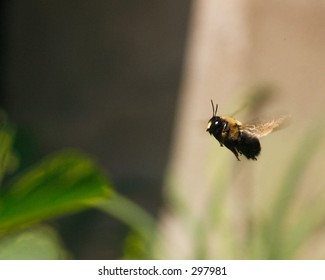 carpenter bee in flight