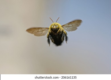 Carpenter bee hovering in flight against a plain background as seen from a front view. Macro