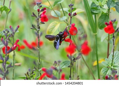 Carpenter bee Latin name xylocopa violacea feeding on scarlet flowering sage royal bumble or salvia x jamensis close up blooming in Italy in springtime