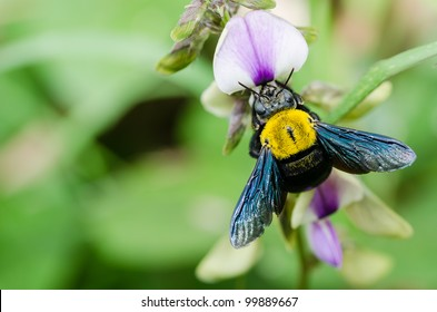 Carpenter bee macro in the nature or in the garden.It's danger