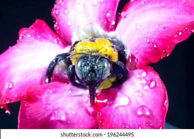Carpenter bee macro in the pink flowers nature