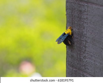 Carpenter Bee making a hole (Xylocopa virginica)