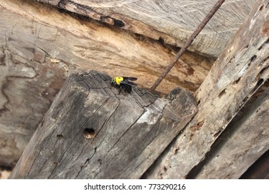 The carpenter bee is moving into its nest ,life cycle of the carpenter bee.