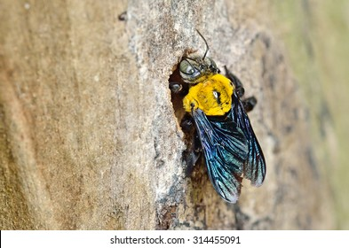 Carpenter bee in the nature