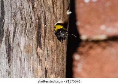 Carpenter bee in the nature or in the garden.It's danger