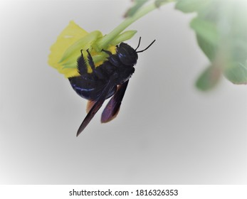 Carpenter bee on biennial primrose flower.