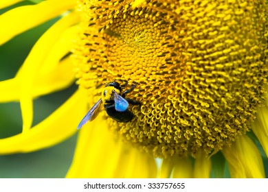 Carpenter bee on the center of Titan sunflower