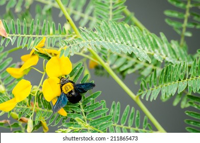 Carpenter bee on a flower