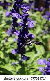 Carpenter Bee on a Salvia Branch