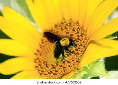 Carpenter bee on sunflower.