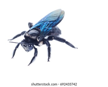 carpenter bee, Xylocopa latipes on a white background