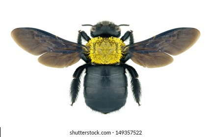 Carpenter bee Xylocopa pubescens on a white background