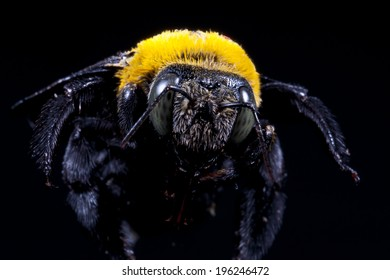 Carpenter bee Xylocopa pubescens on a black background
