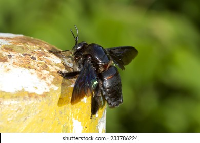 Carpenter bee (Xylocopa varipuncta),black Insect